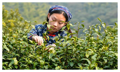 Tea master steeps  in ancient tradition